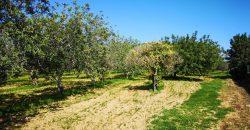 Terreno agrícola com 620 Alfarrobeiras e armazém